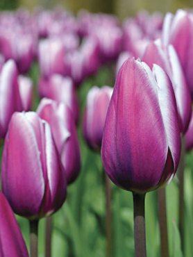 Тюльпаны Триумф Purple Rain 1112 (3 шт)
