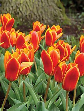 Тюльпаны Кауфмана Early Harvest 10/11 (3 шт)