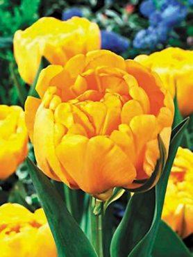 Тюльпаны Махровые поздние Yellow Pomponette 1112 (3 шт)