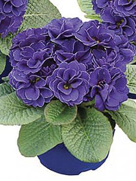 Первоцвіт звичайний (акауліс) Rubens Blue Shades F1 (3 шт)