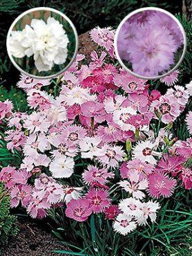 Суміш садових гвоздик (3 шт)