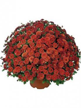 Хризантема мелкоцветковая низкорослая Fushini Red (3 шт)