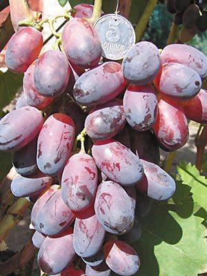 Виноград Кармакод (1 шт) - 1
