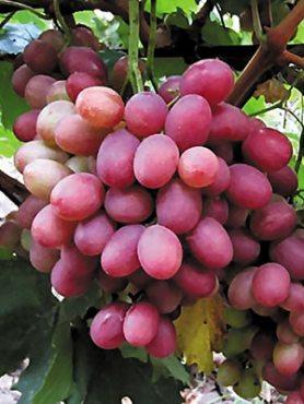 Виноград Рубиновый юбилей(1 шт)