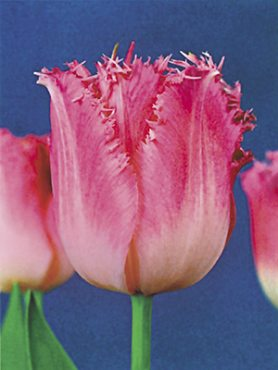 Тюльпаны Бахромчатые Fancy Frills 12+ (500 шт)