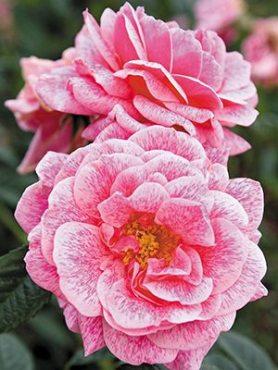 Роза плетистая Camelot (1 шт)