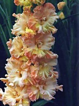 Гладиолус садовый Magic Frizzle (5 шт)