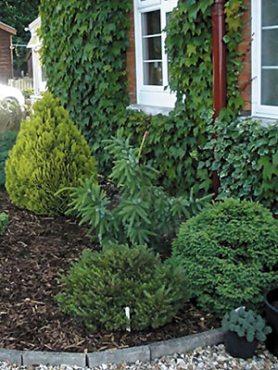 Декоративные хвойные деревья и кустарники, смесь(3 шт)