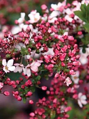 Спирея Тунберга Fujino Pink (1 шт) - 1
