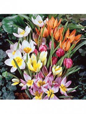 Тюльпани ботанічні, суміш (10 шт)