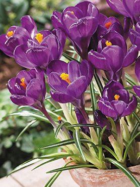 Шафран весняний Flower Record 78 (5 шт)