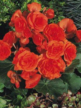 Бегония красивоцветущая (зимняя) Charisma, лососево-оранжевая (6 шт)
