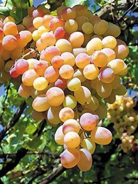 Виноград Лия (1 шт)