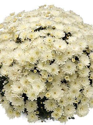 Хризантема мелкоцветковая низкорослая Branbeach White (3 шт) - 1