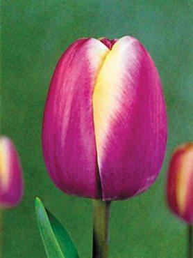 Тюльпаны Простые поздние Atlantis 1011 (3 шт)