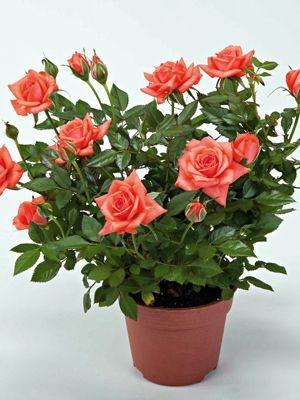 Роза кімнатні Salmon Star (1 шт) - 1