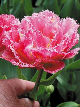 Тюльпаны Махровые бахромчатые Crispion Sweet 11/12 (3 шт)
