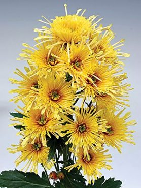 Хризантема срезочная Annecy Yellow (3 шт)