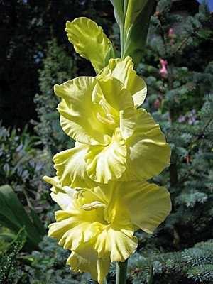 Гладиолус садовый Morning Gold (5 шт) - 1