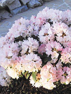 Рододендрон якушиманский Dreamland (1 шт)
