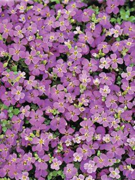 Обрієта гібриді Whitewell Gem, темно-фіолетова (0,2 г)