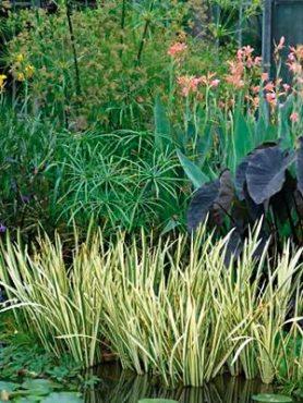 Аир болотный Variegatus (1 шт)