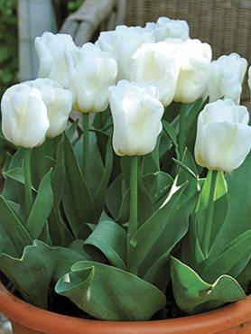 Тюльпаны Триумф Calgary 12+ (3 шт)