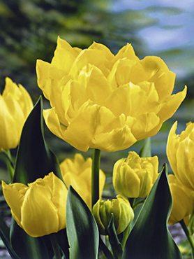 Тюльпаны Махровые ранние Monte Carlo 12/+ (3 шт)