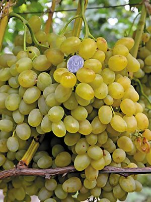 Виноград Галахад(1 шт) - 1