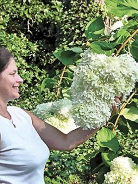 Гортензия метельчатая Grandiflora(1 шт)