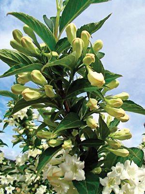 Вейгела цветущая Candida (1 шт) - 1