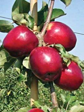 Яблоня Моди (1 шт)