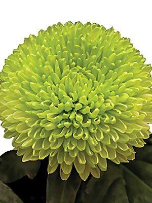 Хризантема срезочная Borlu (3 шт) - 1