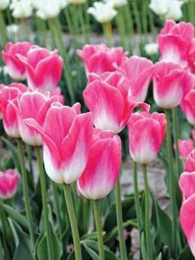 Тюльпани Тріумф Династія 1011 (20 шт)