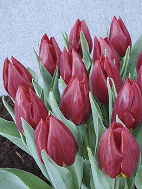 Тюльпаны Триумф Rea 12+ (3 шт)