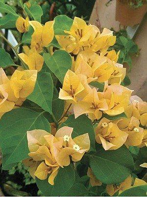 Бугенвіллея Vera Yellow (1 шт) осінь - 1