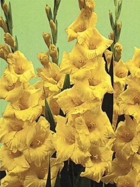 Гладиолус садовый Nova Lux 1416 (20 шт)