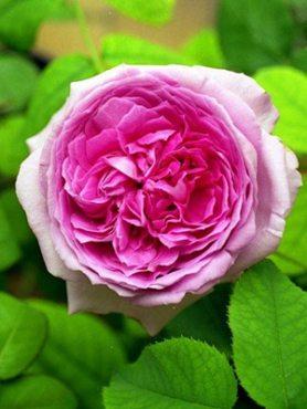 Роза столепестковая Major (1 шт)