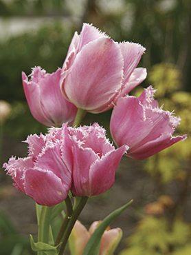 Тюльпаны Бахромчатые Fringed Family 1011 (3 шт)