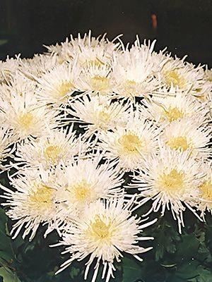 Хризантема срезочная Spider White (3 шт) - 1