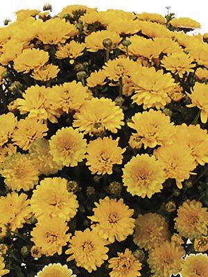 Хризантема дрібноквіткова низькоросла Branking Suny (3 шт) - 1
