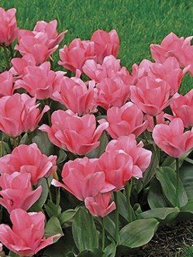 Тюльпаны Фостера Sweet Sixteen 1112 (20 шт)