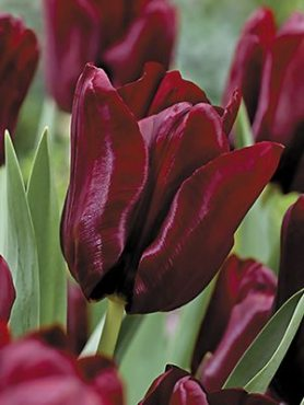 Тюльпани Тріумф Mascara 12+ (3 шт)