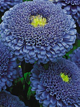 Айстра однорічна Помпонна Bolero Dark Blue (0,5 г)
