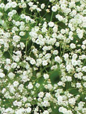 Лищиця волотиста, біла махрова (0,2 г)