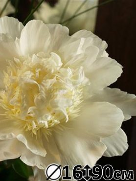 Пион молочноцветковый Charle`s White (1 шт)