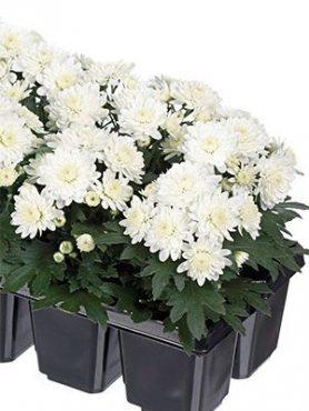 Хризантема мелкоцветковая низкорослая Baby Mum White (9 шт)