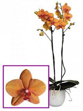 Фаленопсис гибридный Egyption (1 шт)