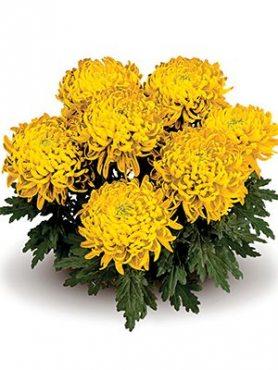 Хризантема горшечная Trumpf Yellow (3 шт)