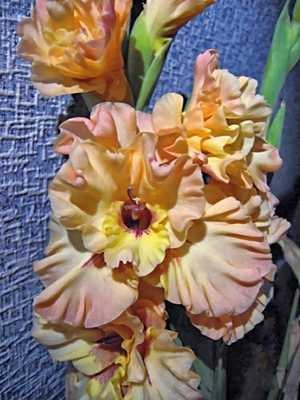 Гладиолус садовый Rumba (5 шт) - 1